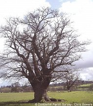 ancient tree in Dodderhill